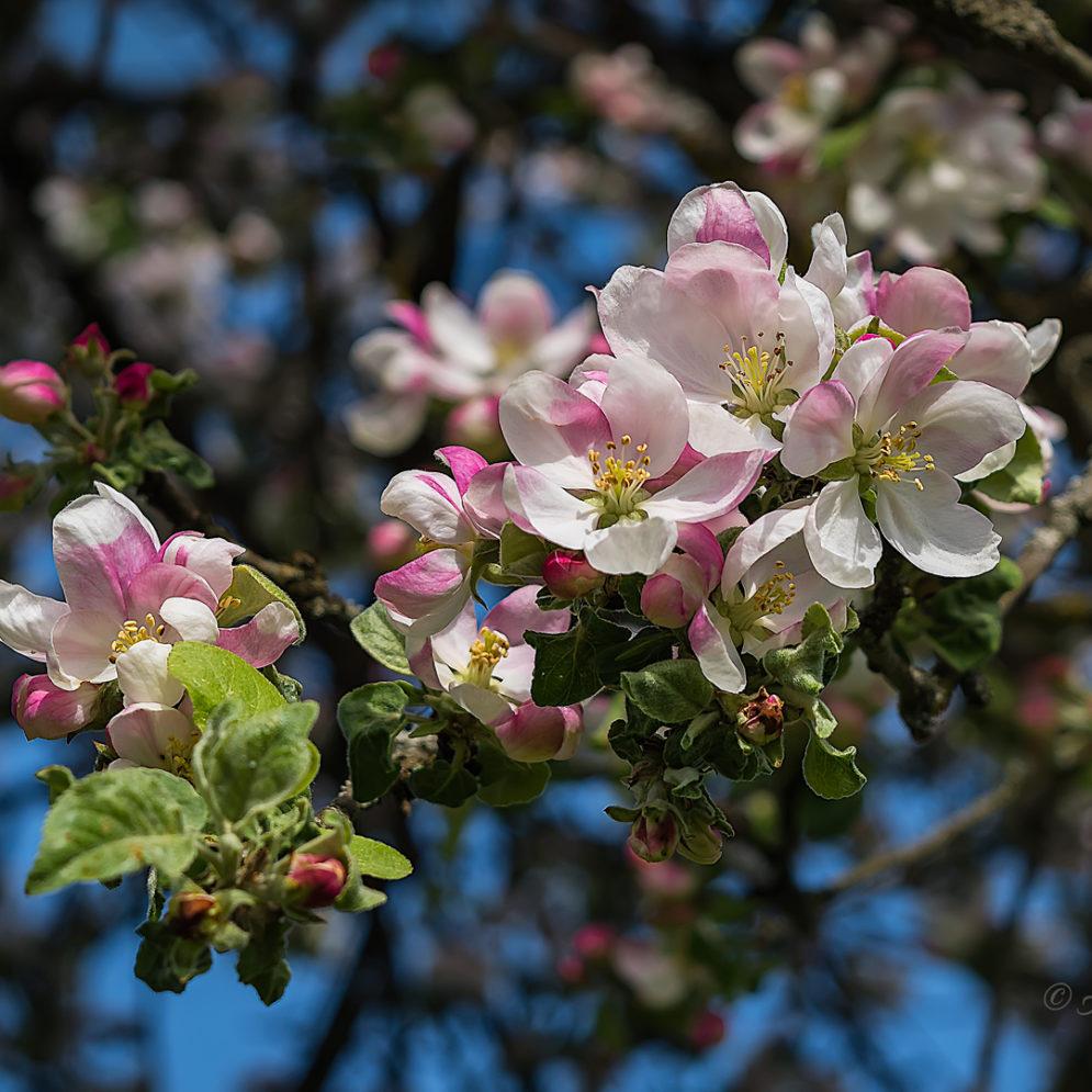 Õunapuu (Suurejõe 2017)